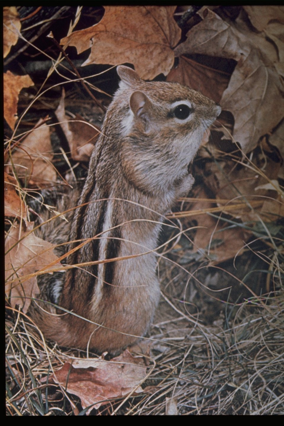 A chipmunk standing next to dry leaves.