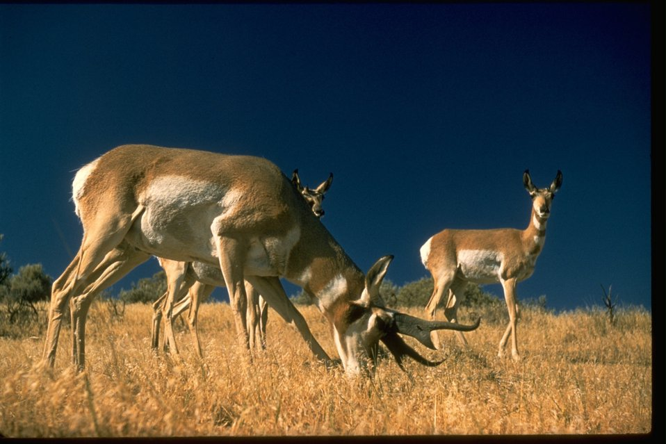 Pronghorns (sometimes called Prong horn Antelope) standing in field.