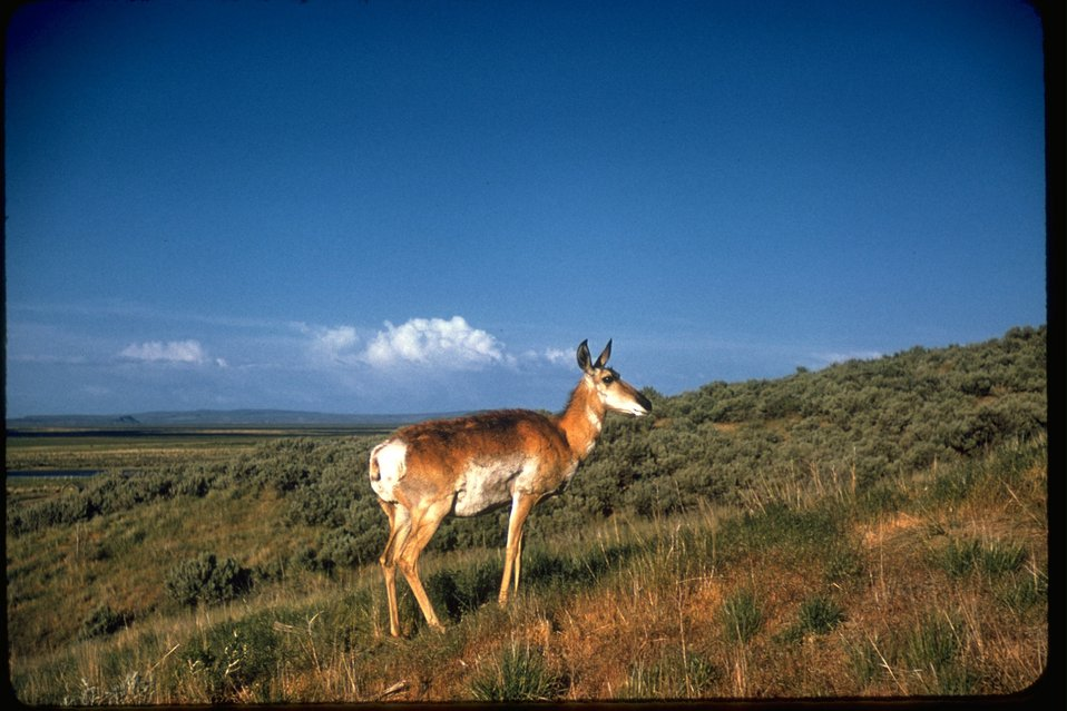 A lone Prong horn (sometimes called Pronghorn Antelope) standing in field.