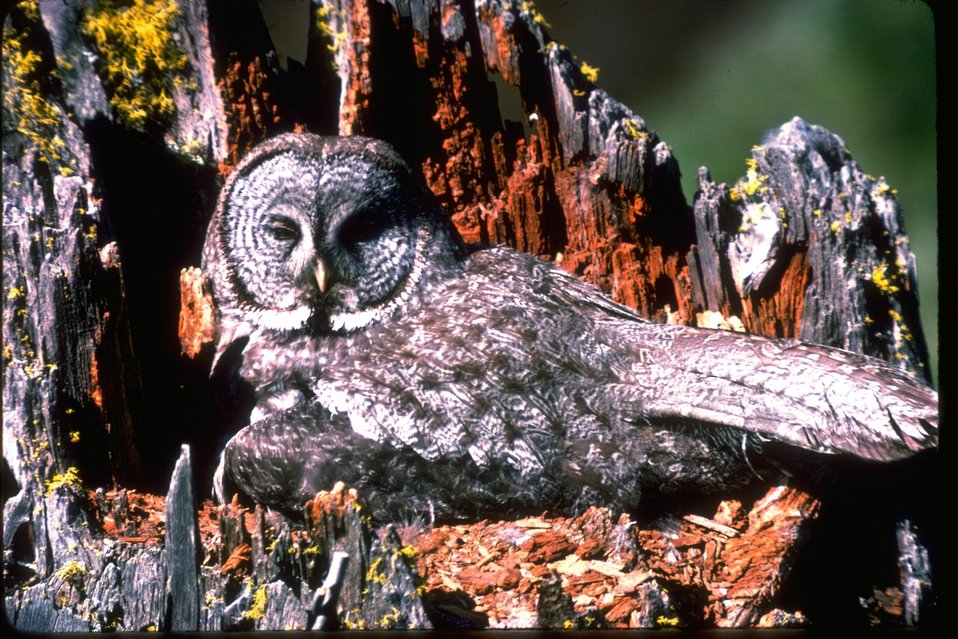 A Great Gray owl sitting in a dead tree stump.