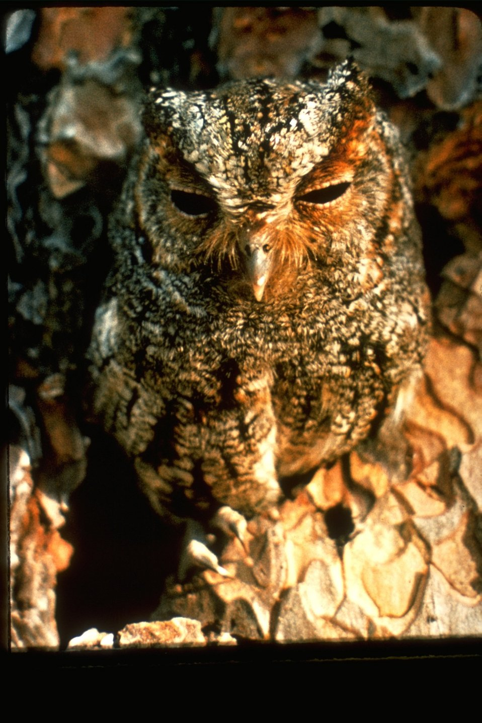 A flammulated owl.