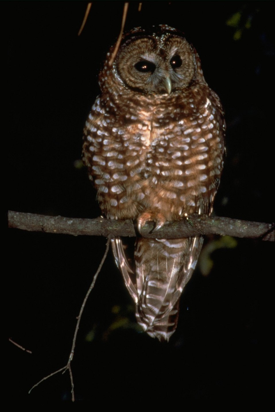 A spotted owl perched on a branch.