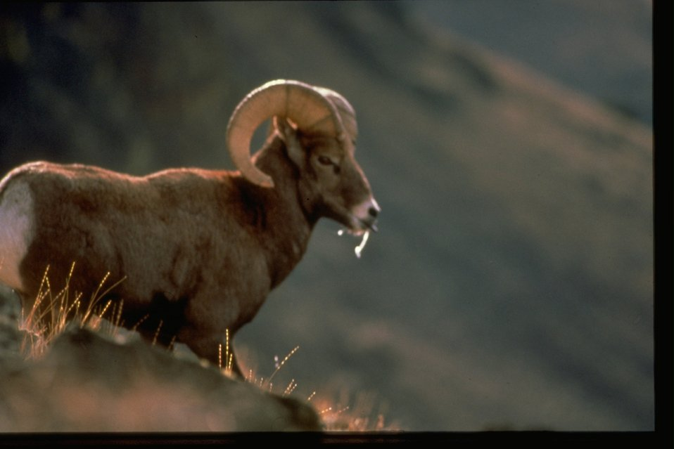 A Bighorn Sheep with grass in its mouth.