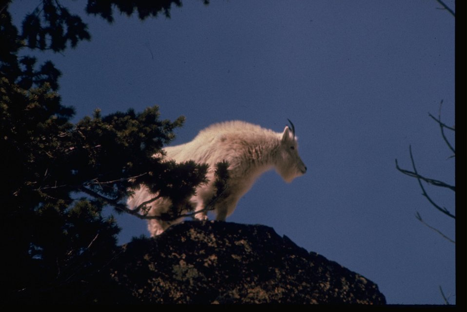 A mountain goat standing on large rock.
