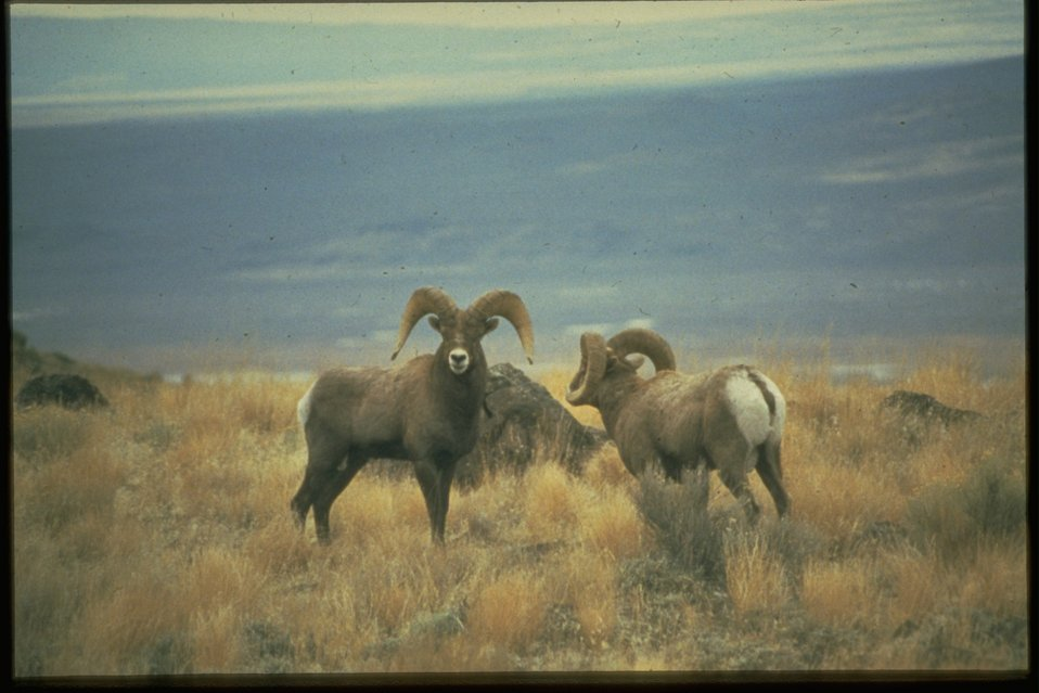 Two Bighorn Sheep standing in a field.