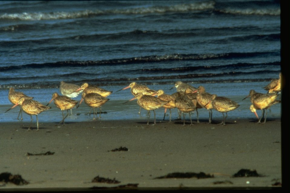 Godwits standing along the coast.