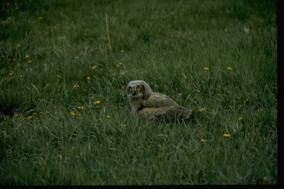 A Short-eared Owl sitting in long grass.