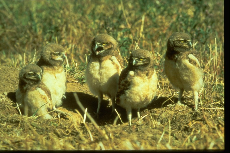 Burrowing owls standing on the outter edge of a hole in the ground.