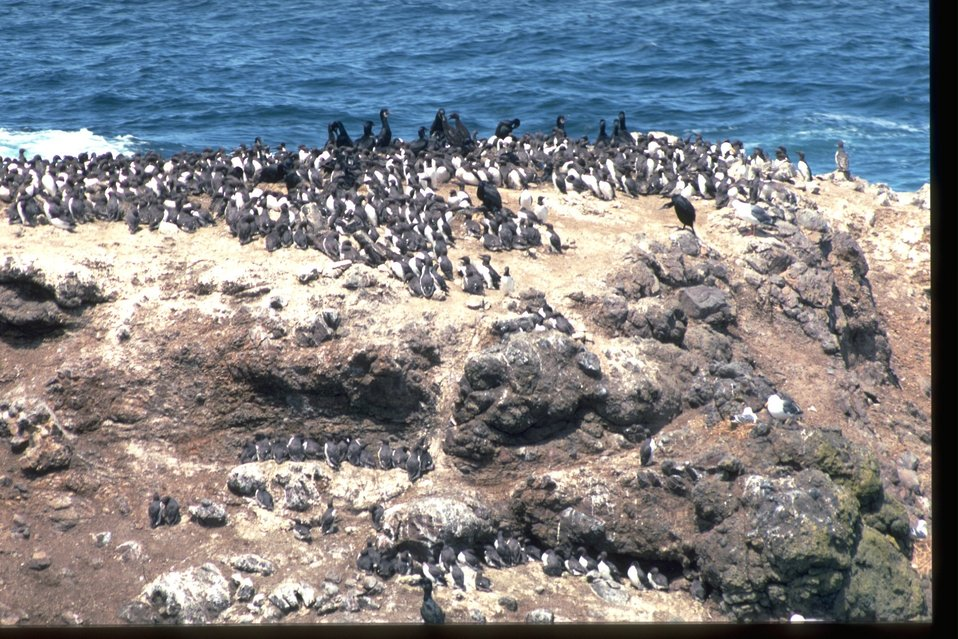 Common Murre colony along the coast.