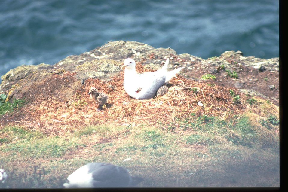 A gull with chick on rock near some body of water.