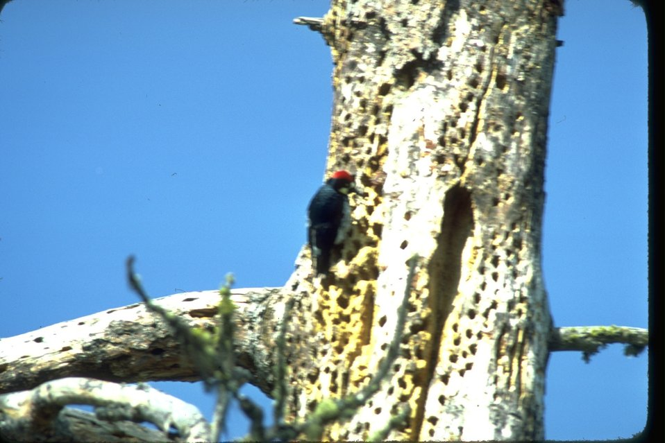 Acorn Woodpecker pecking at tree with many holes.