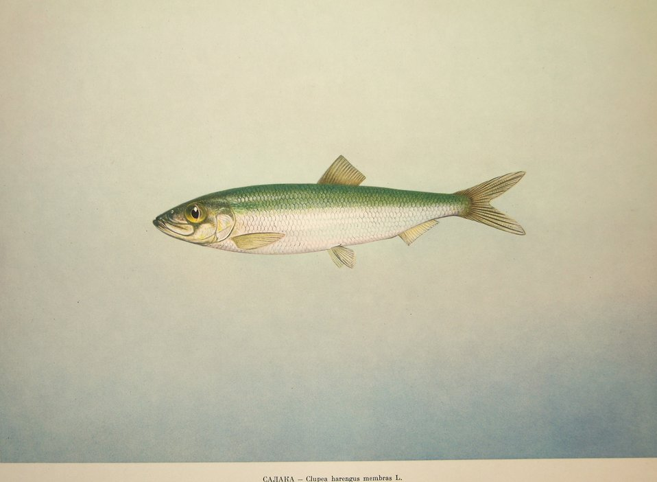 Plate 31. Clupea harengus membras L. Family Clupeidae. In: Fishery Resources of the USSR,  N.N.Kondakov, Artist Editor. 1957.  NOAA Central Library Call Number: SH91.R9 1957.
