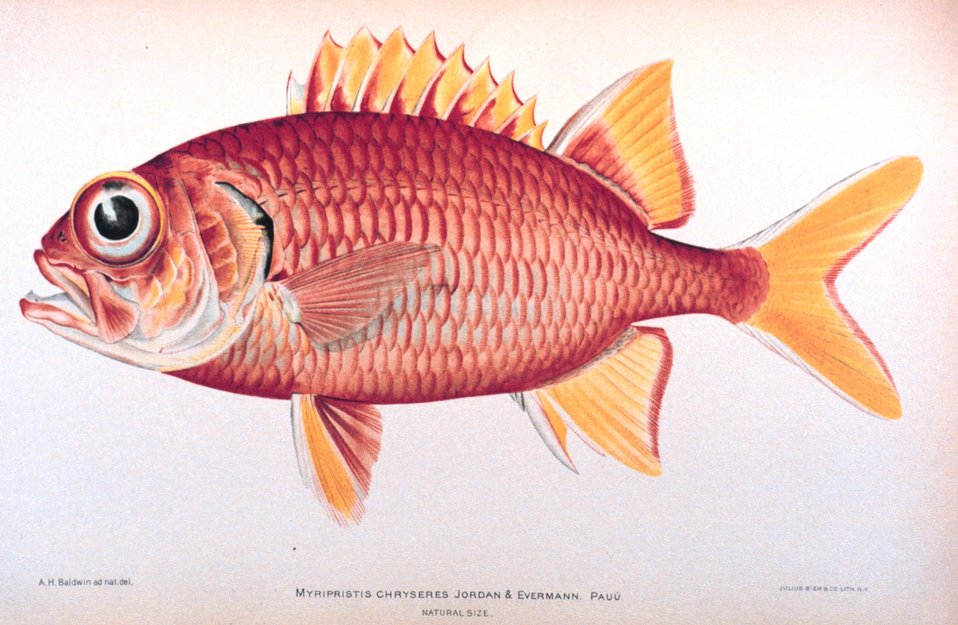 Myripristis chryseres Jordan & Evermann.  Pau'u. In: 'The Shore Fishes of the Hawaiian Islands, with a General Account of the Fish Fauna', by David Starr Jordan and Barton Warren Evermann. Bulletin of the United States Fish Commission, Vol. XXIII, for