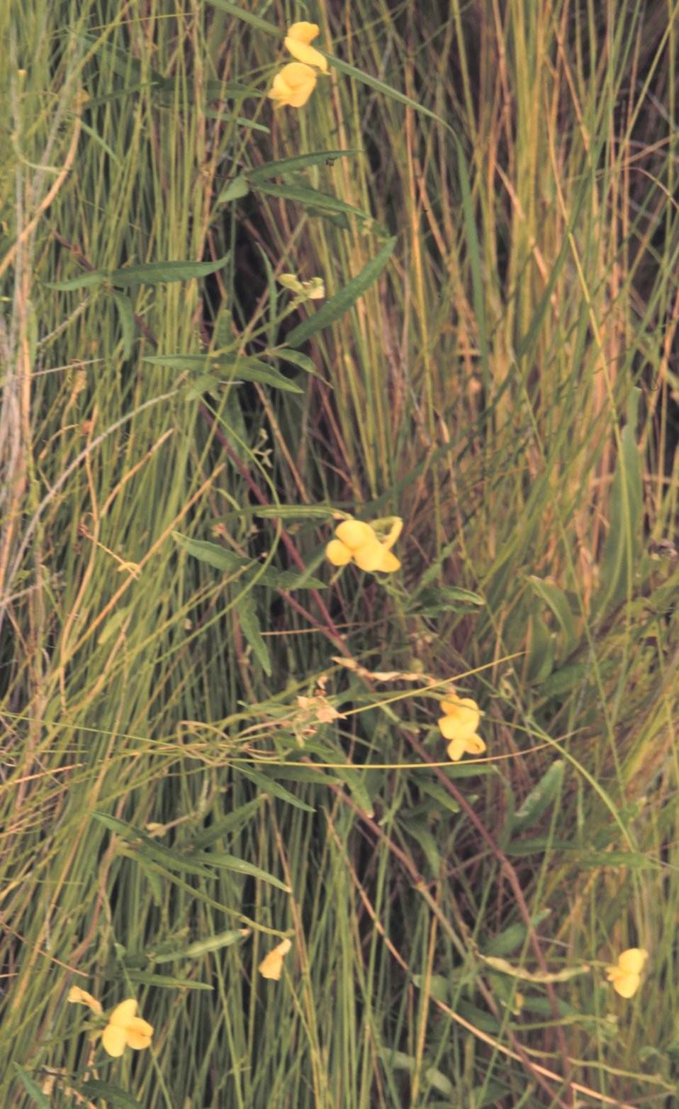 Deer pea is a common marsh plant that plays an important role in nitrogen cycling.