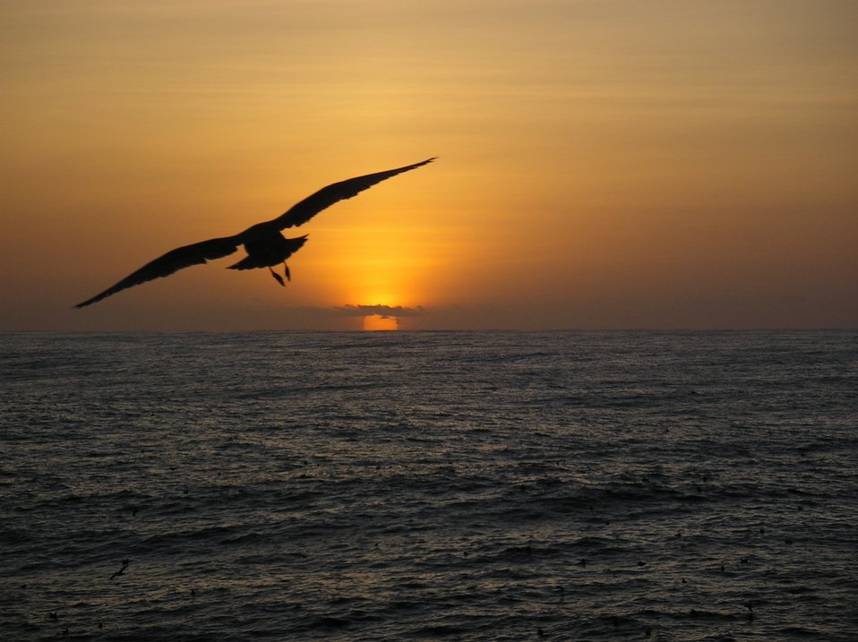A sea bird observed flying towards the sunset during 2004 Pacifc Whiting Fishery survey.