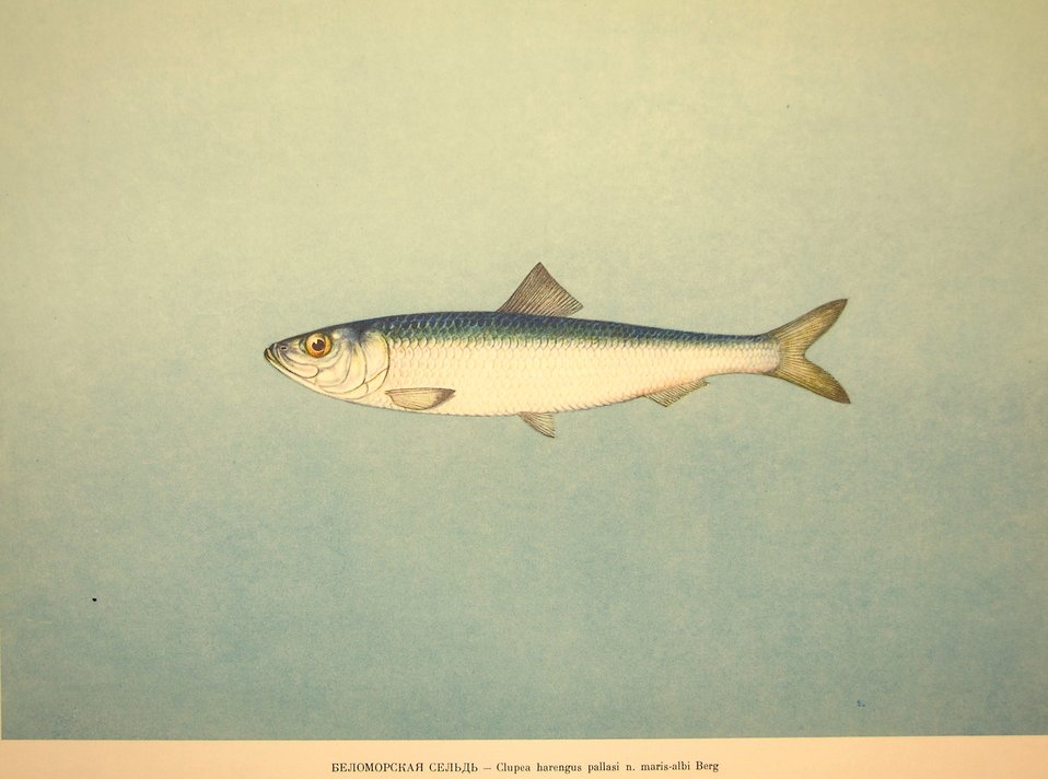 Plate 33. Clupea harengus pallasi n. maris-albi Berg. Family Clupeidae. In: Fishery Resources of the USSR,  N.N.Kondakov, Artist Editor. 1957.  NOAA Central Library Call Number: SH91.R9 1957.