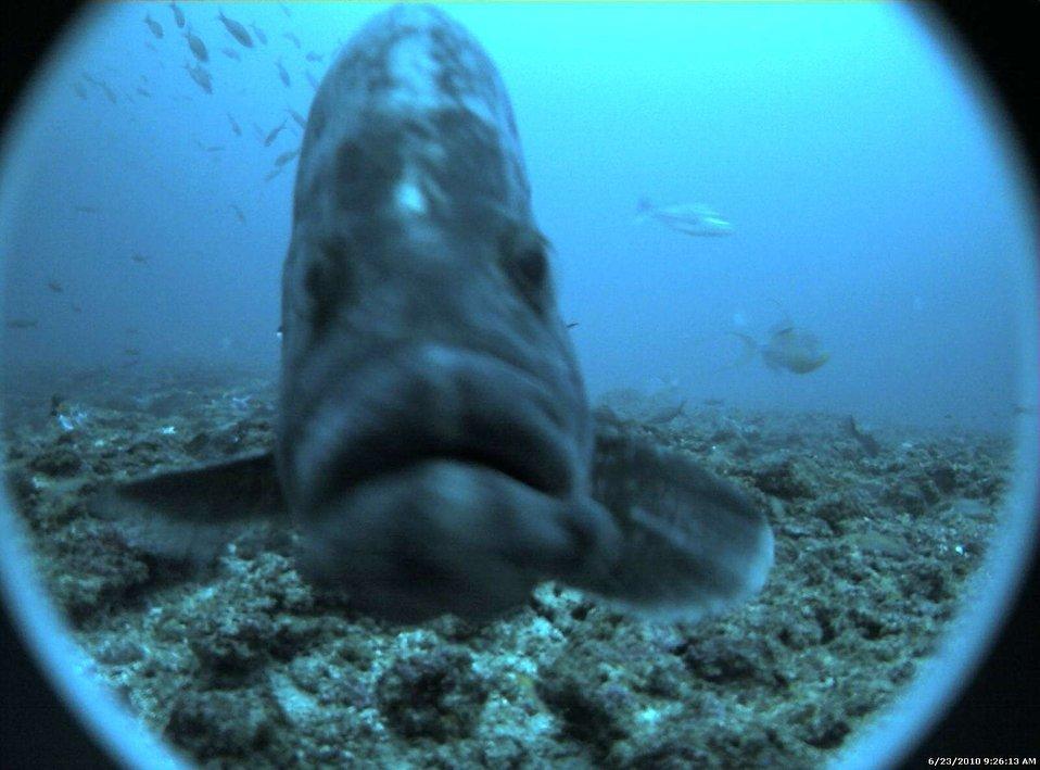 Marbled grouper (Dermatolepis inermis)