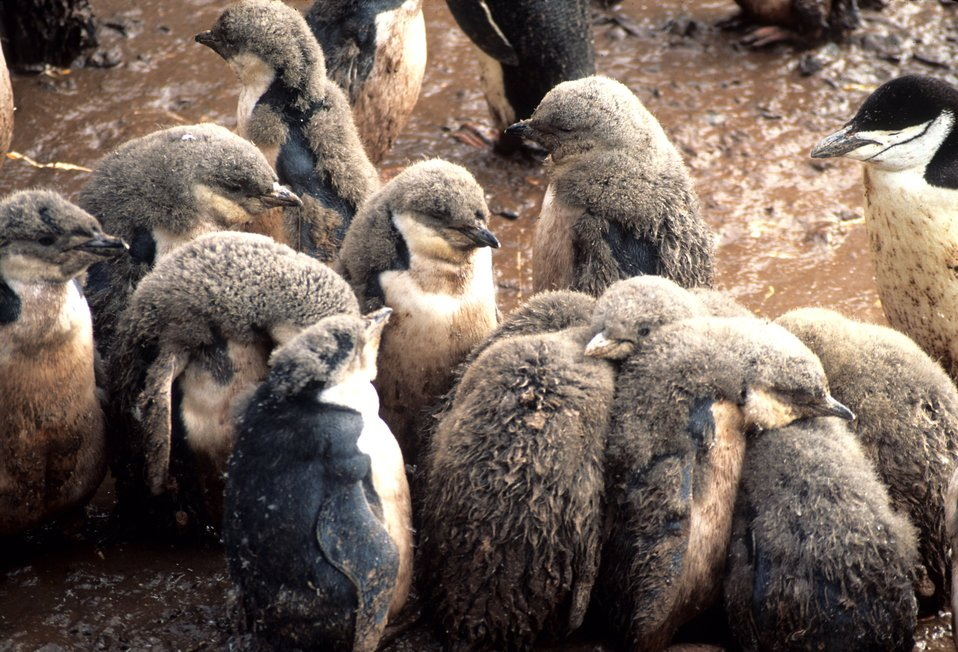 Molting chinstrap penguins, Seal Island.