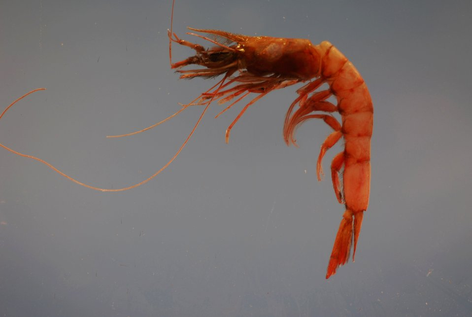 Megalops or pinkspeckled shrimp ( Penaeopsis serrata)