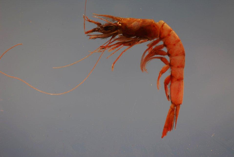 Megalops or pinkspeckled shrimp ( Penaeopsis serrata)