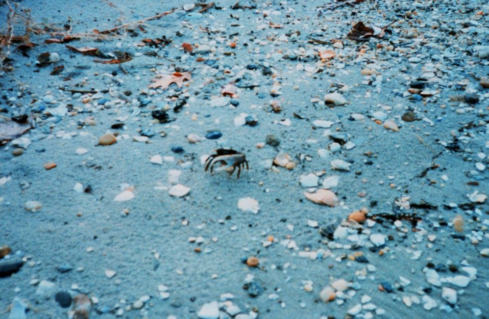 Fiddler crab on the beach