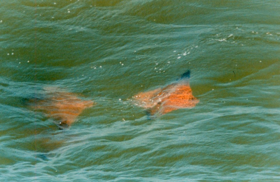 Schools of Cow-nosed Rays - Rhinoptera bonasus - are a familiar sight in the Chesapeake Bay.