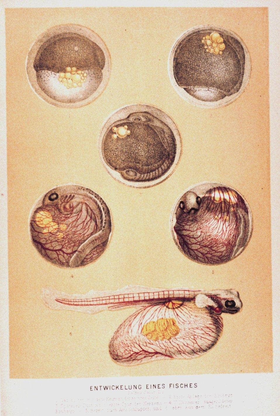 'Entwickelung eines Fisches'.  Fish embryo.  In: 'Das Meer' by M. J. Schleiden, 1804-1881.  P. 538. Library Call Number QH91.S23 1888.