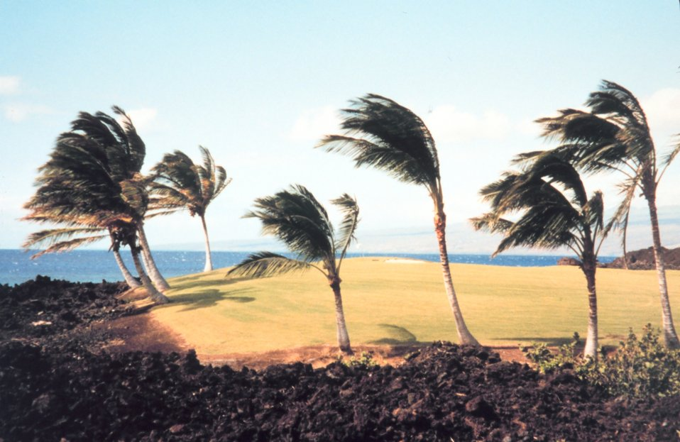 Golf course on the Kona coast.  Palm trees moulded by direction of prevailing trade winds.
