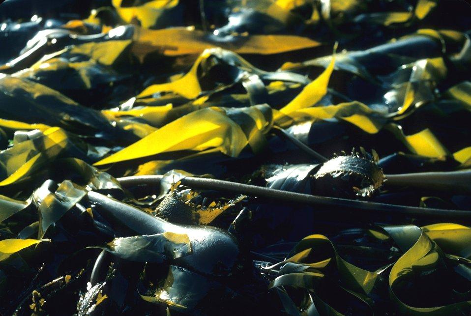 Kelp (Macrocystis pyrifera)