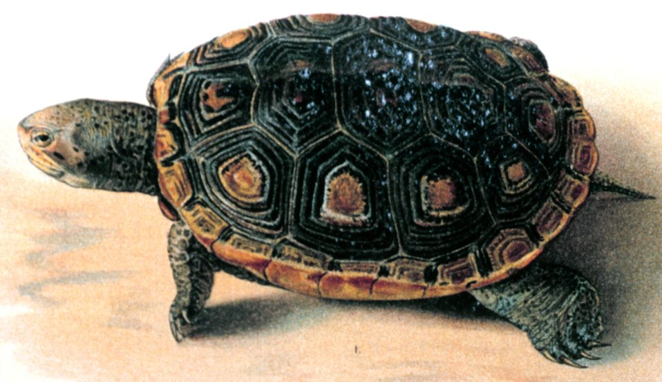 1. Malaclemmys macrospilota. In:  'A Revision of Malaclemmys, a Genus of Turtles', by William Perry Hay.  P. 20, Plate XI (upper half).