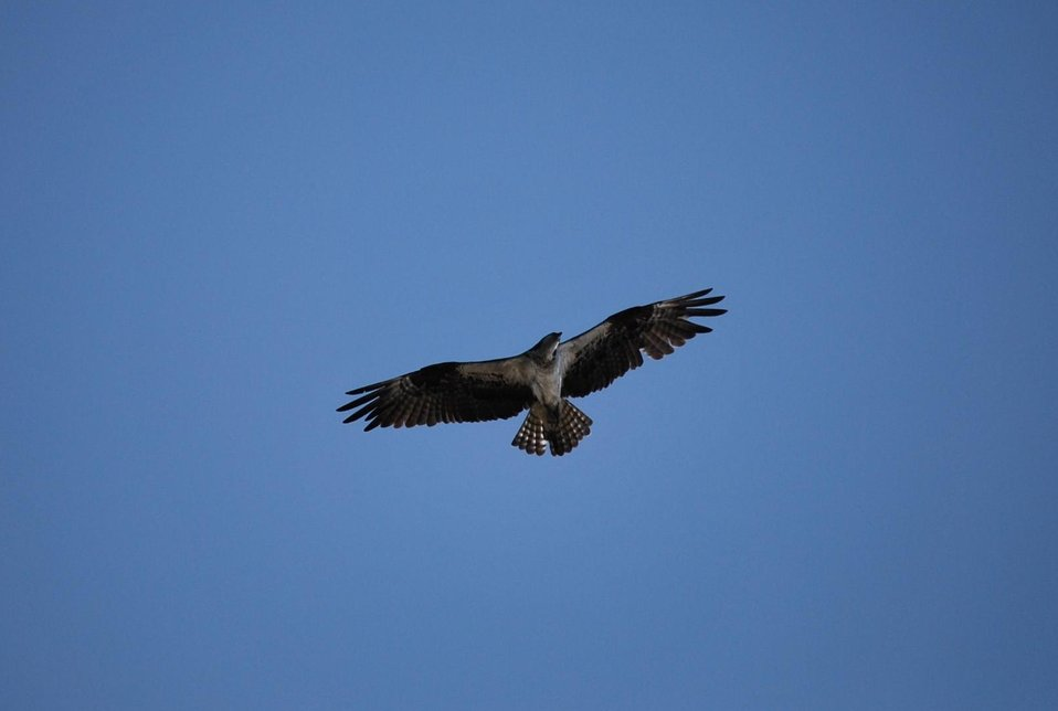 An osprey flying above silhouetted by a deep blue sky.