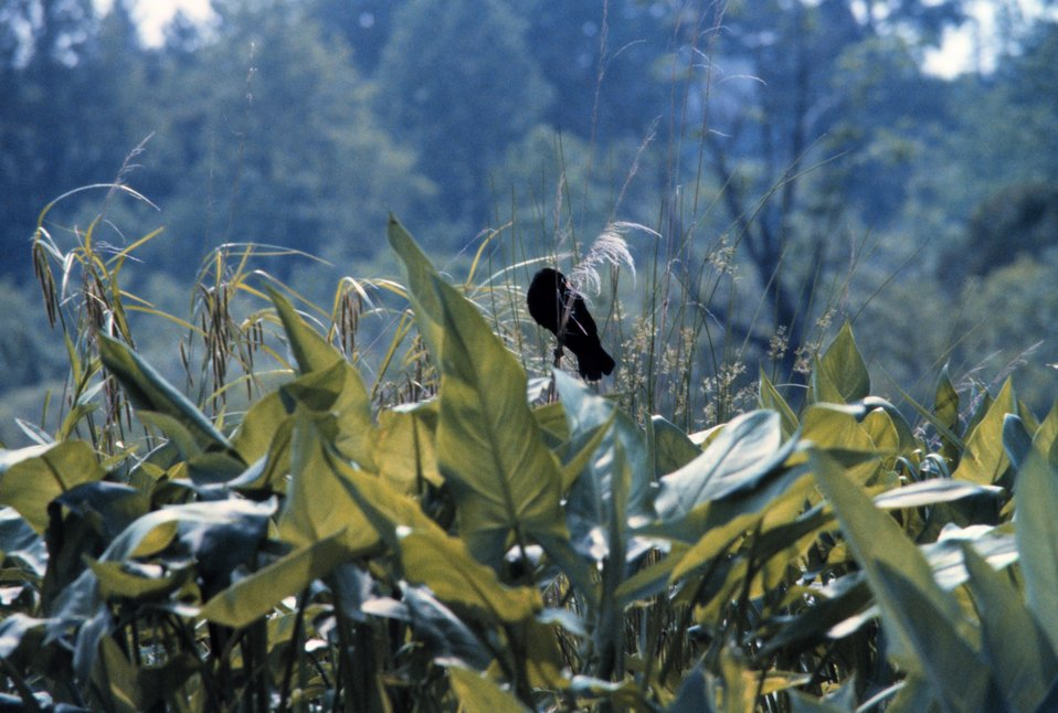 A redwing blackbird perching atop reeds in a Patuxent river marsh.  Arrow arum plants are in the foreground.
