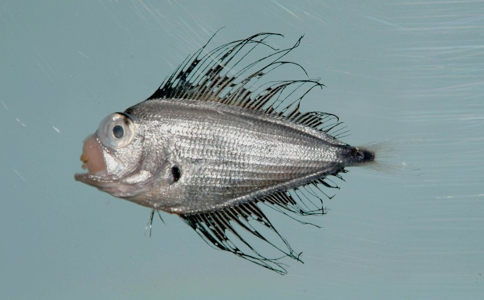 Atlantic fanfish or silver sea bream ( Pterycombus brama )