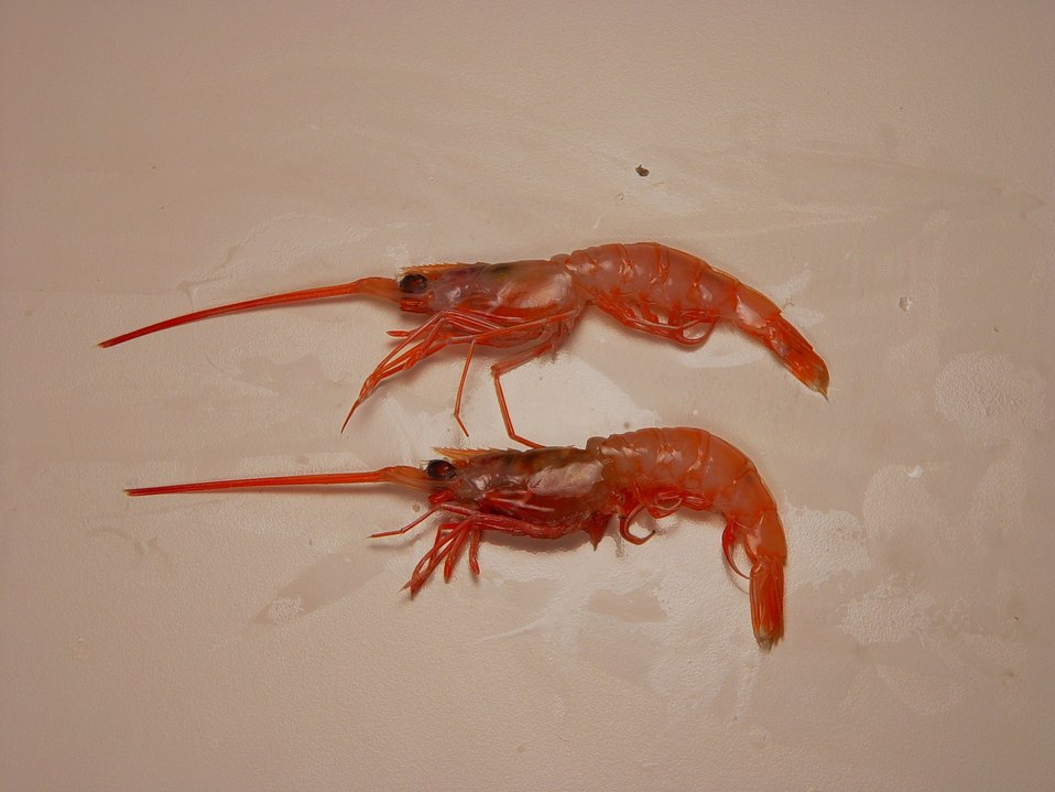 Humpback shrimp ( Solenocera vioscai )