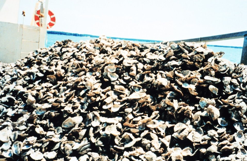 Shells containing oyster spat raised by the Oyster Recovery Partnership are piled up waiting to be moved to a permanent oyster bed off of the Severn River.