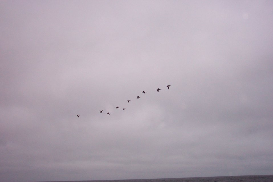 A flight of Brown Pelicans - Pelecanus occidentalis - as seen at Point Lobos.
