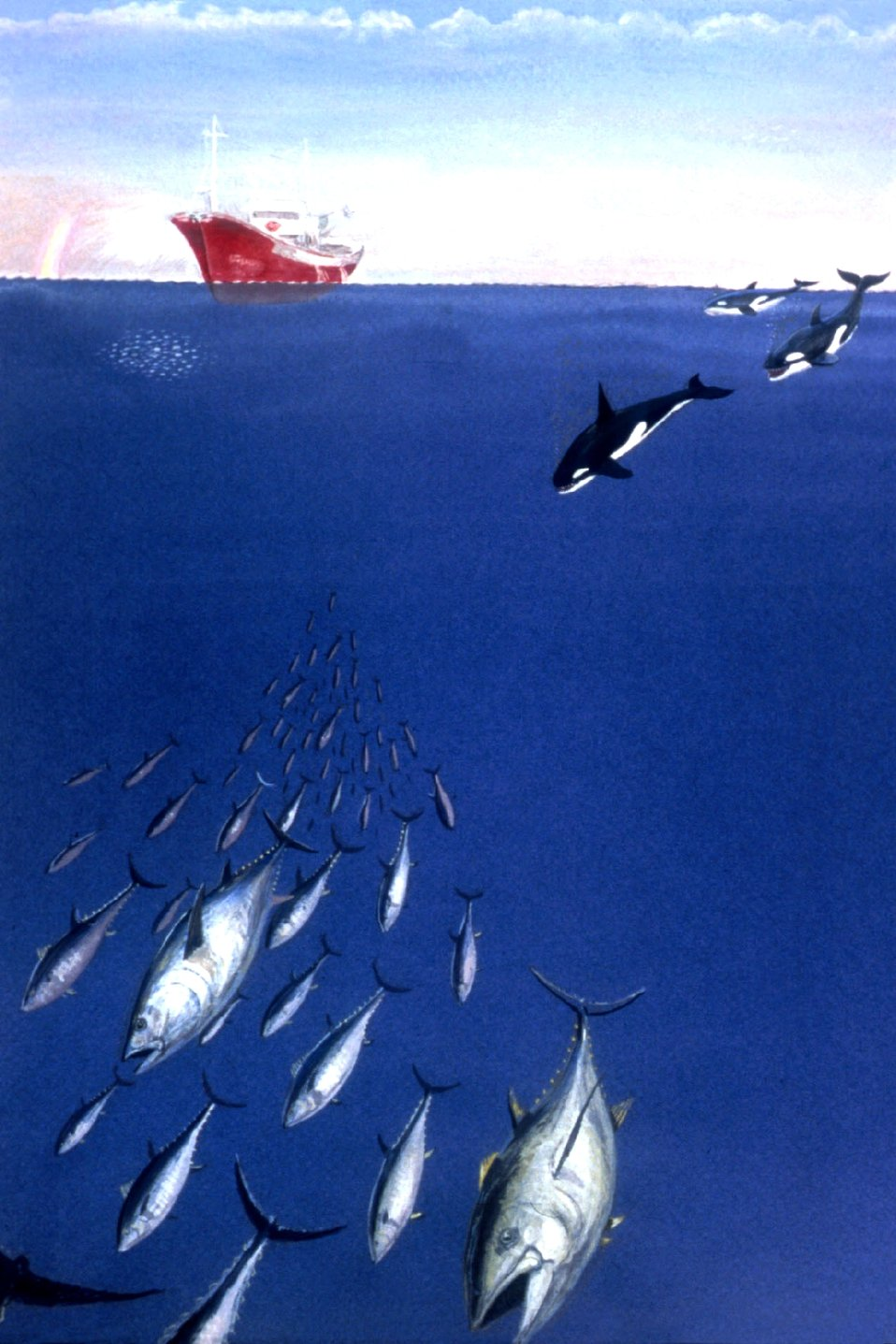 Besides man, killer whales are major predators pursuing tuna.