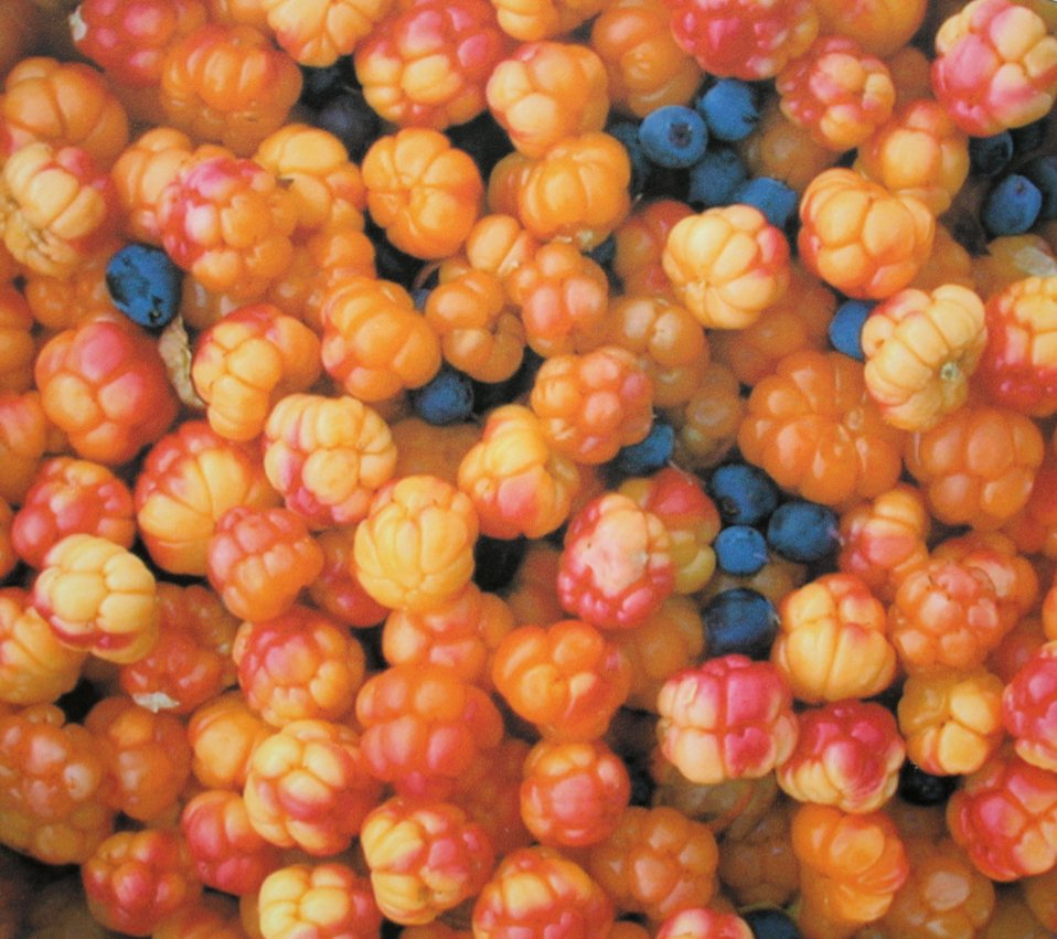 Cloudberries and blueberries (a photograph of a photograph at Tombstone Territorial Park) in Ogilvie Mountains.