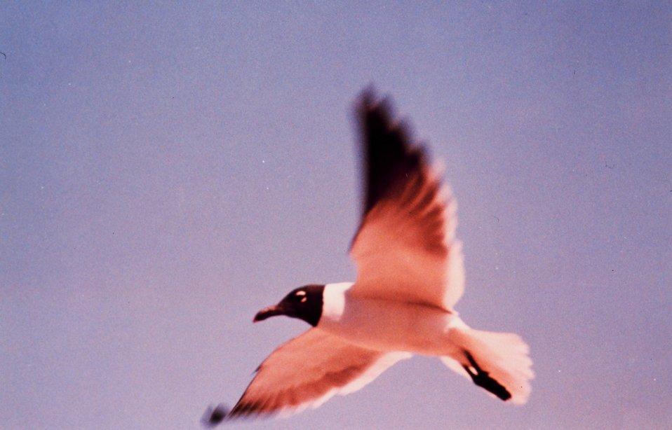A sea gull in flight