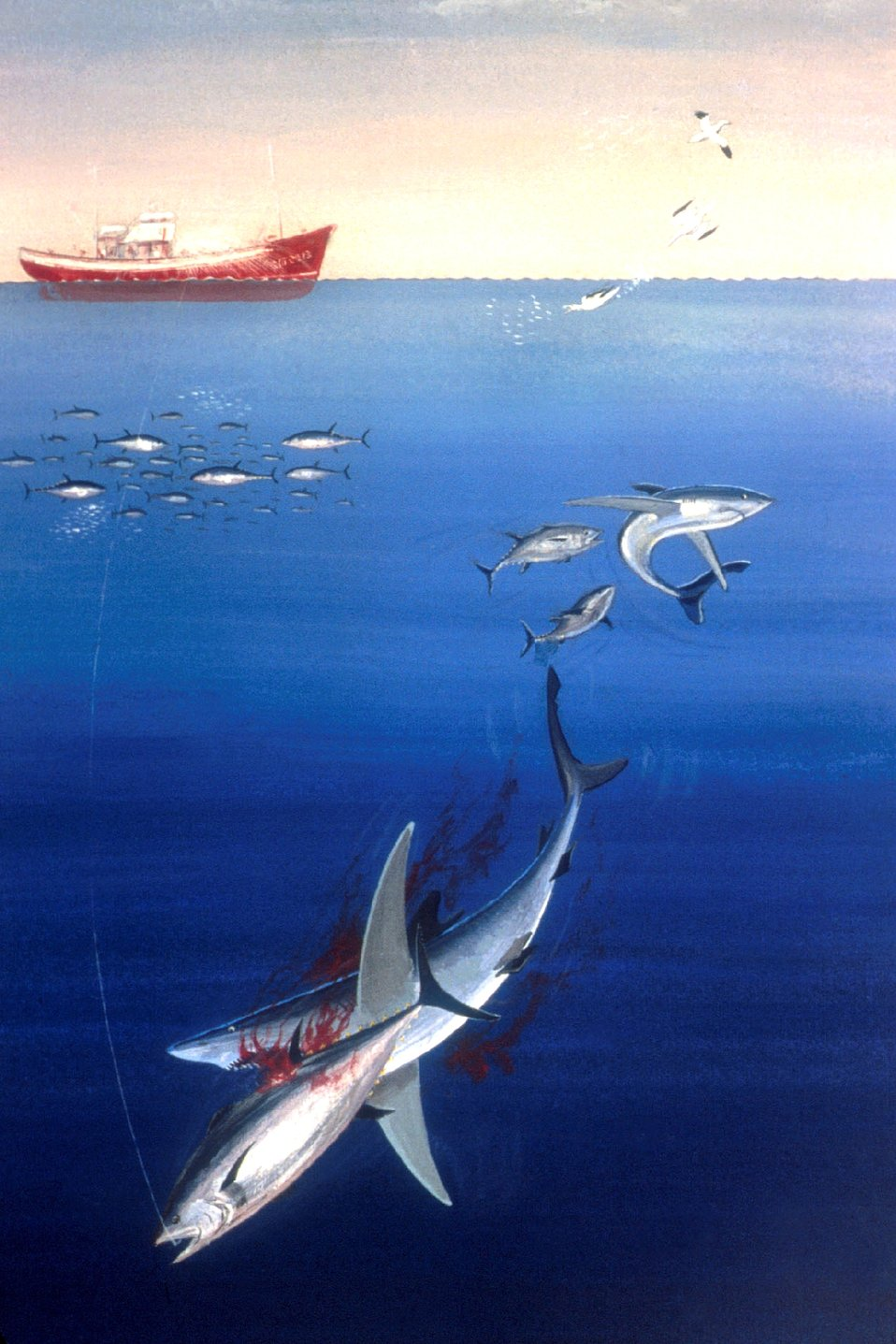 Tuna hooked by pole and line fishing makes easy prey for an opportunistic shark.