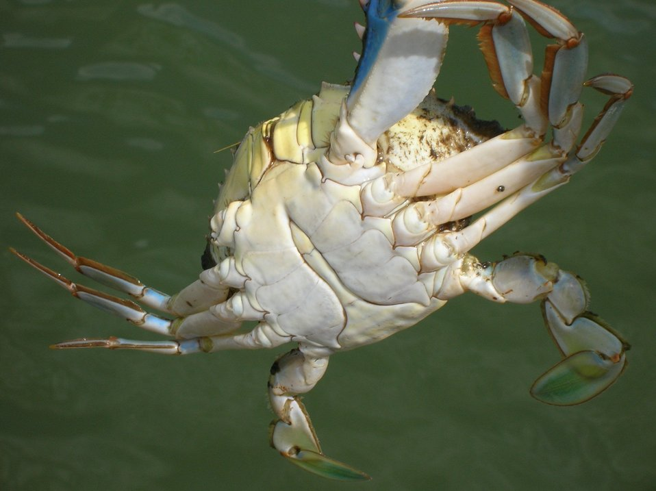 Male blue crab.  Compare underside of male to female sook in image line4166.