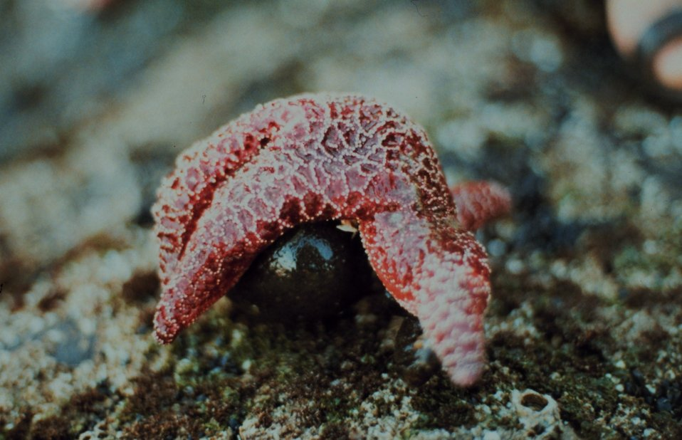 A starfish wrapped around a rock