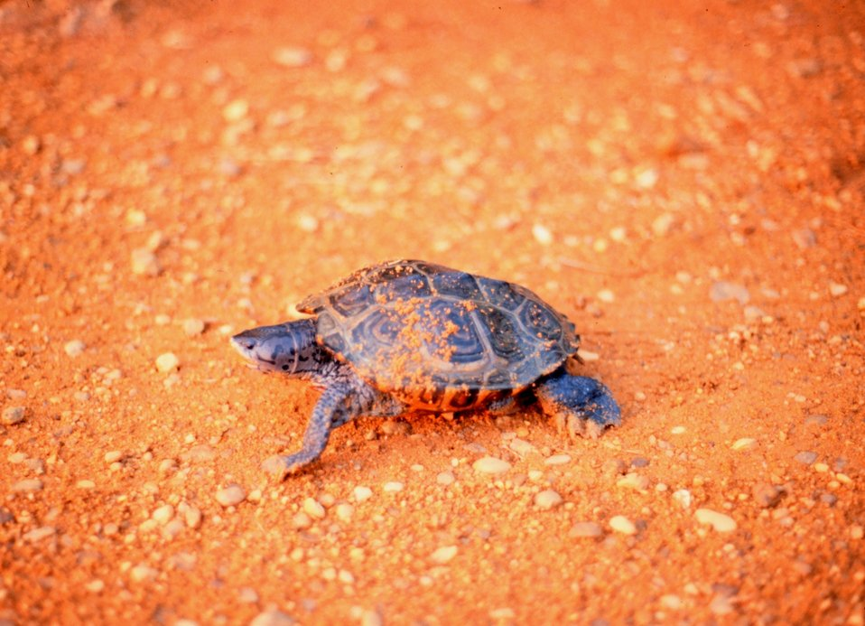 A female Diamondback terrapin, Malaclemys terrapin, puts the final touches on her freshly laid nest of eggs.