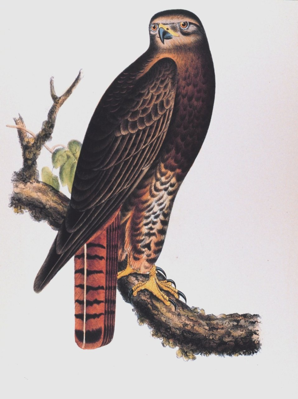 Buteo calurus, Cassin.  Red-tailed Black Hawk. This image was included in:  Reports of Explorations and  Surveys ....  Volume X. 1859.  Plate XIV.  P. 16 of U. S. Pacific Railroad Explorations and Surveys 38th,39th, 41st Parallels.    Call Number F593 .U