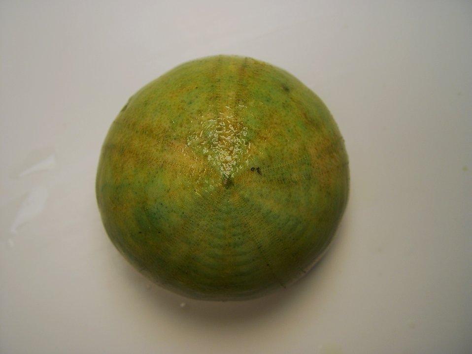 An echinoderm (Conolampas sigsbei )