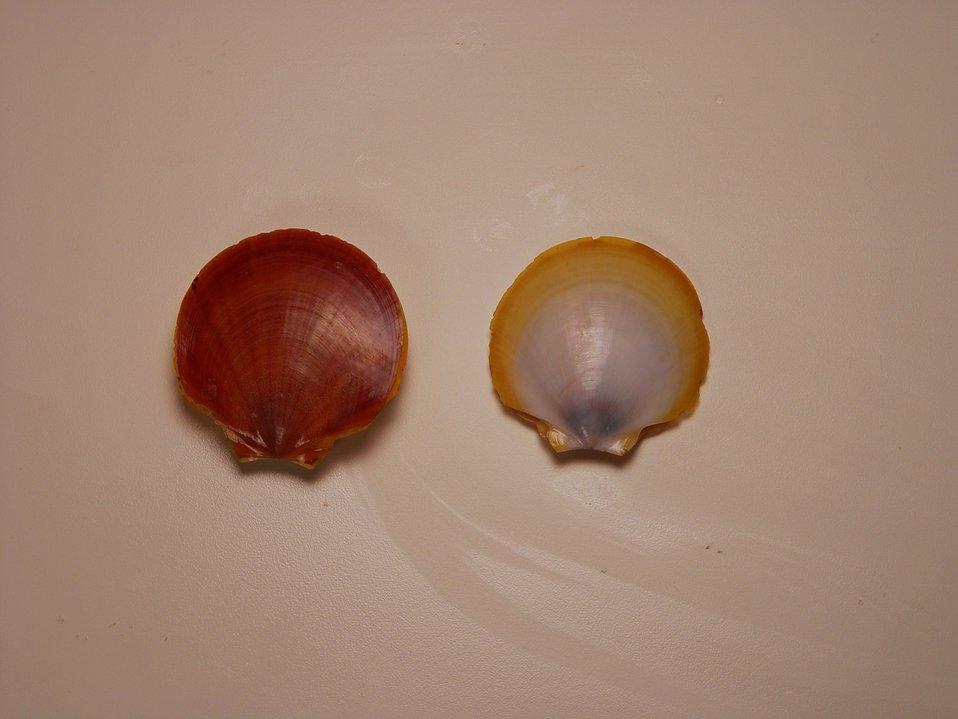 Paper scallop  ( Amusium papyraceum )