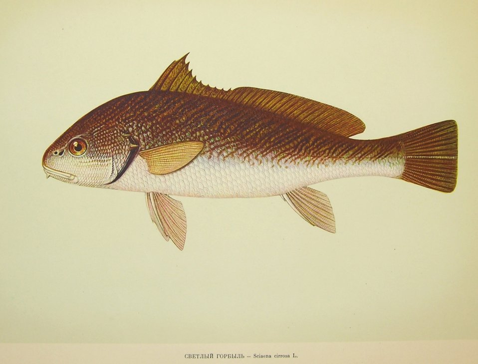 Plate 182. Sciaena cirrosa (L.). Family Sciaenidae. In: Fishery Resources of the USSR,  N.N.Kondakov, Artist Editor. 1957.  NOAA Central Library Call Number: SH91.R9 1957.