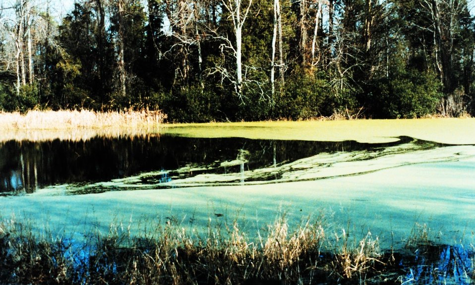 Flag Pond covered with green algae.