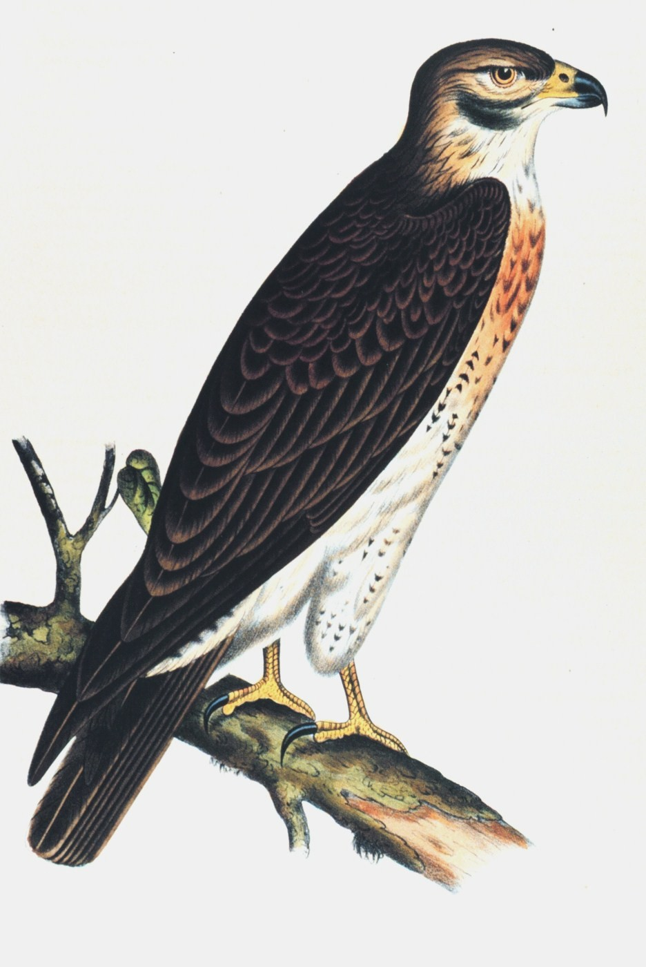 Buteo swainsoni.  Swainson's Buzzard, a variety of hawk. This image was included in:  Reports of Explorations and  Surveys ....  Volume X. 1859.  Plate XII.  P. 16 of U. S. Pacific Railroad Explorations and Surveys 38th,39th, 41st Parallels. Library Cal