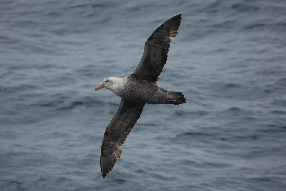 Southern giant petrel.